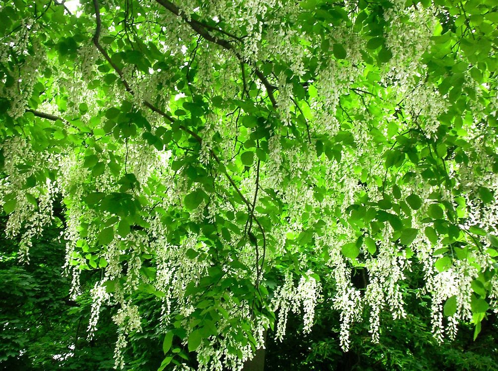софора японская фото дерева