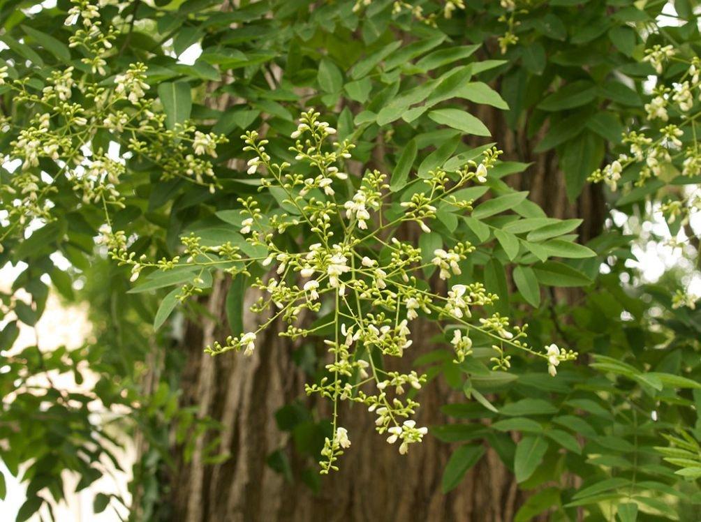 Софора - выращивание японской акации
