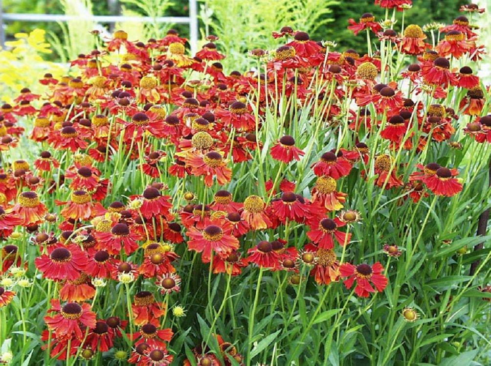 Гелениум фото цветов