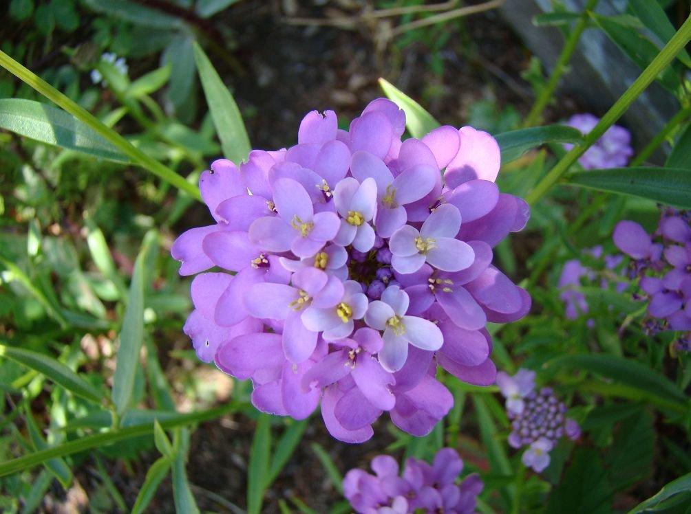 Иберис цветы выращивание 61