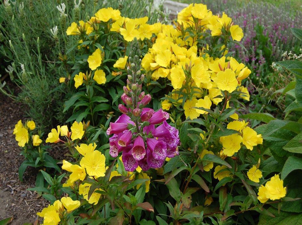 Выращивание энотера розовая 50