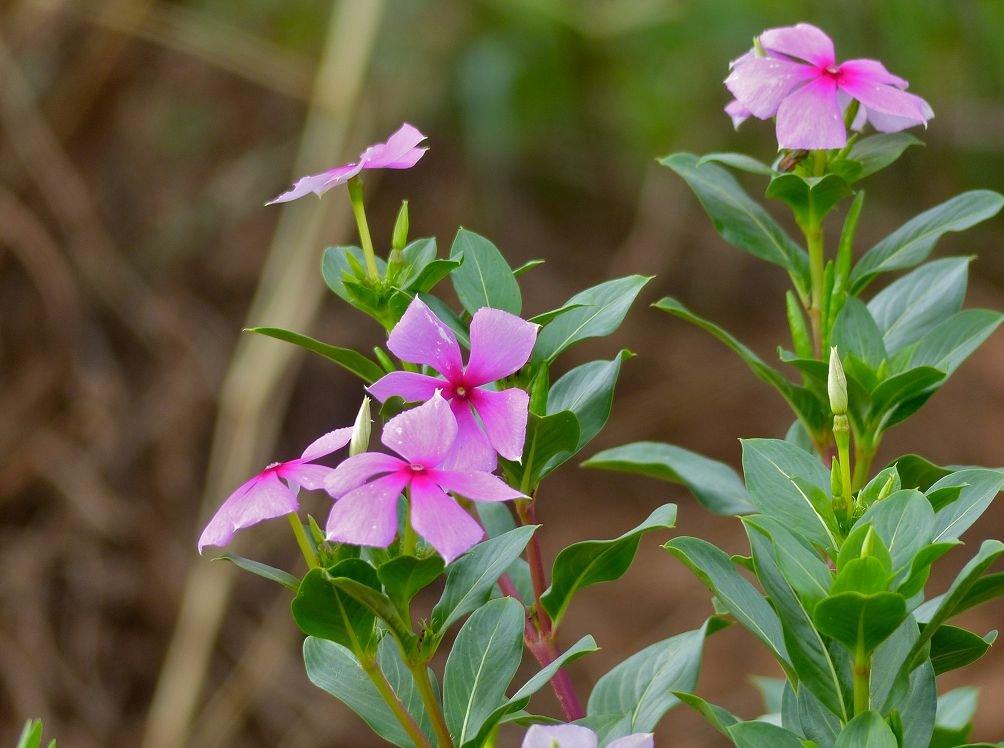 Катарантус ампельный выращивание из семян