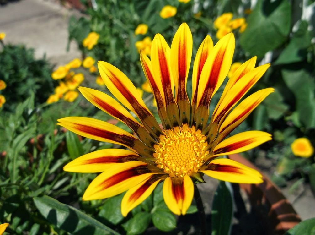 Цветы гацания