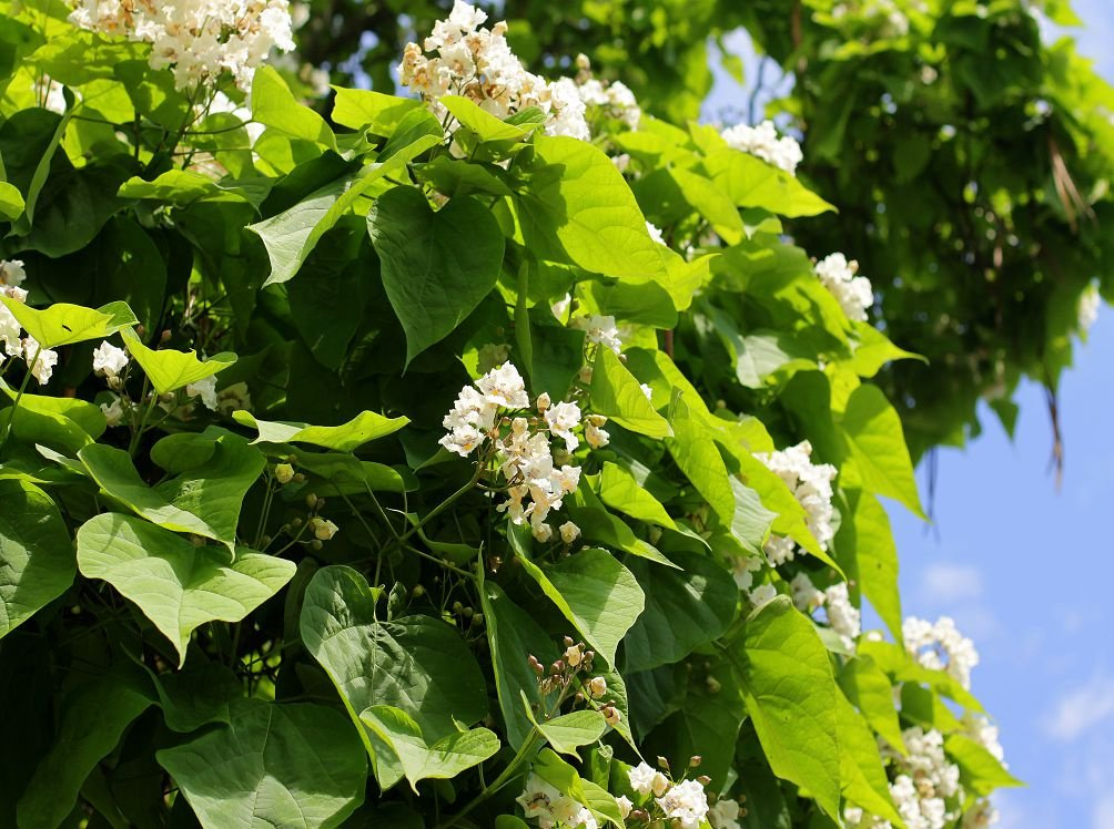 Дерево с большими листьями и белыми цветами