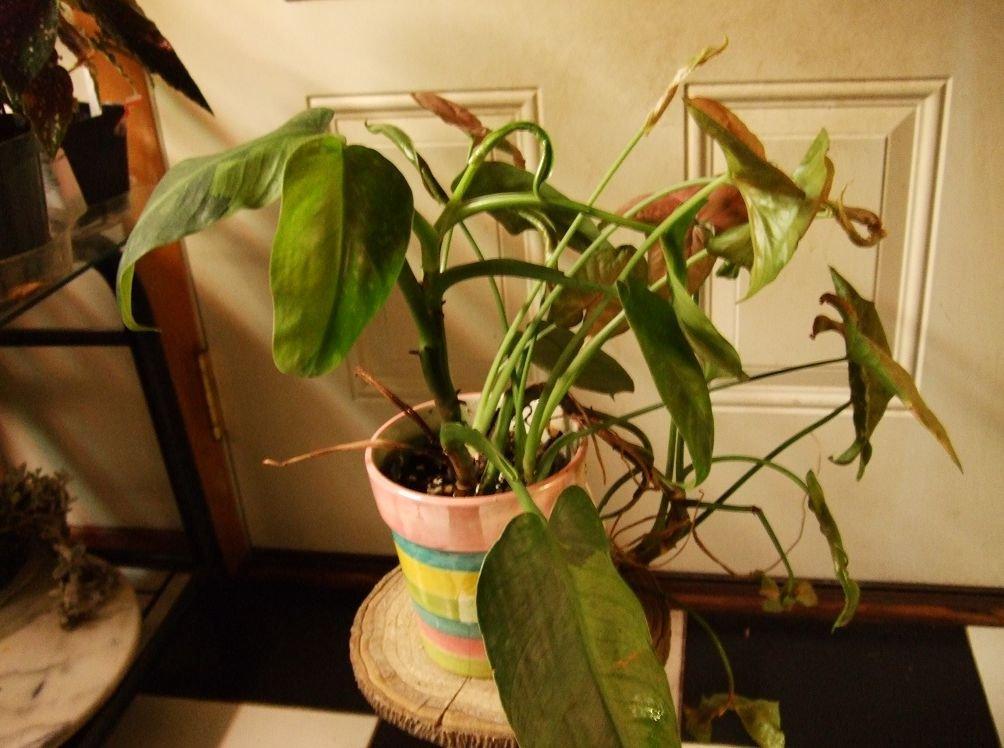 Фото пестрые листья у домашних цветов 160