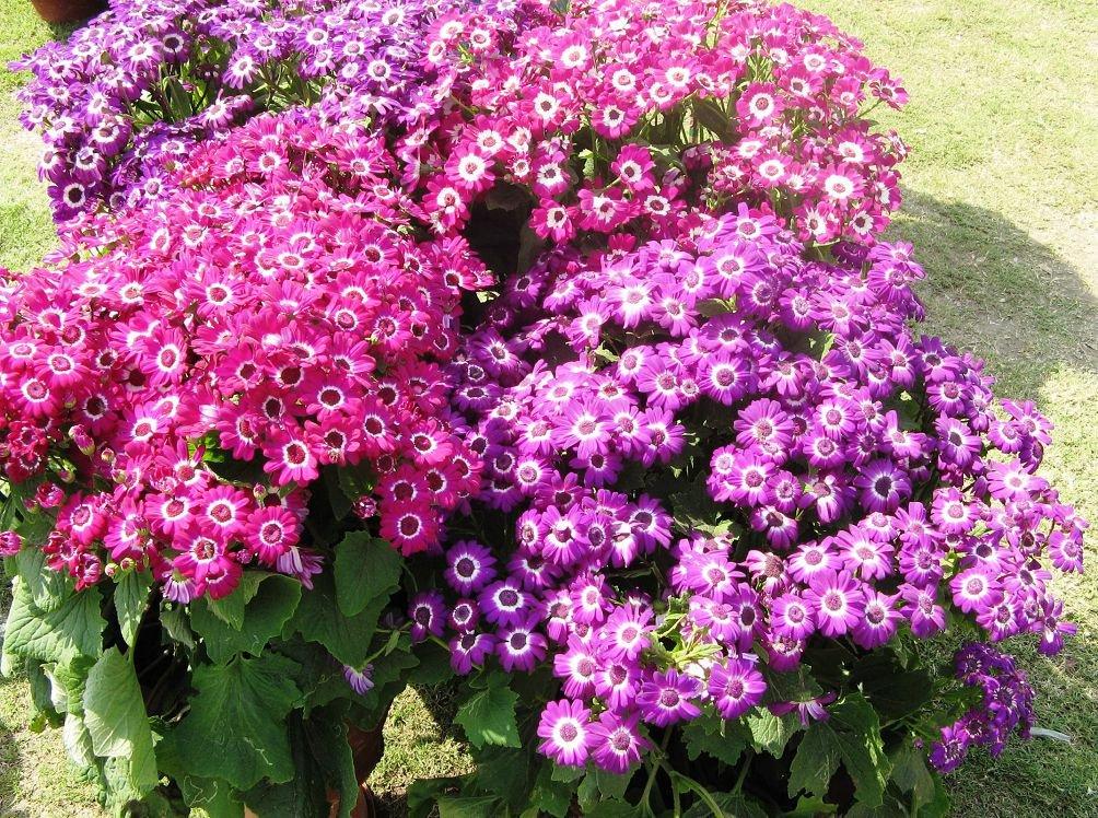 Комнатные цветы цинерария выращивание и уход фото 34