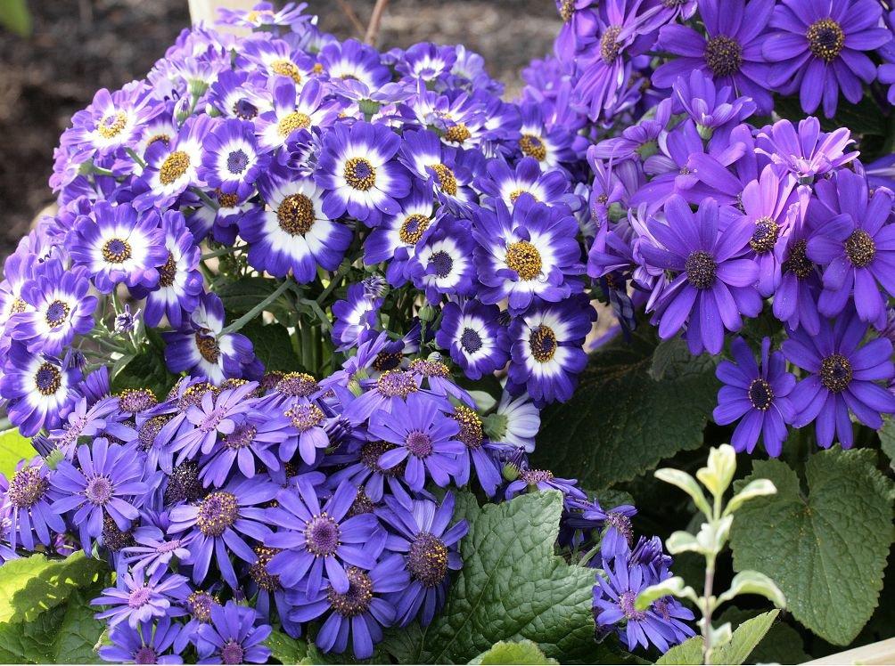 Цветы цинерария посадка и уход