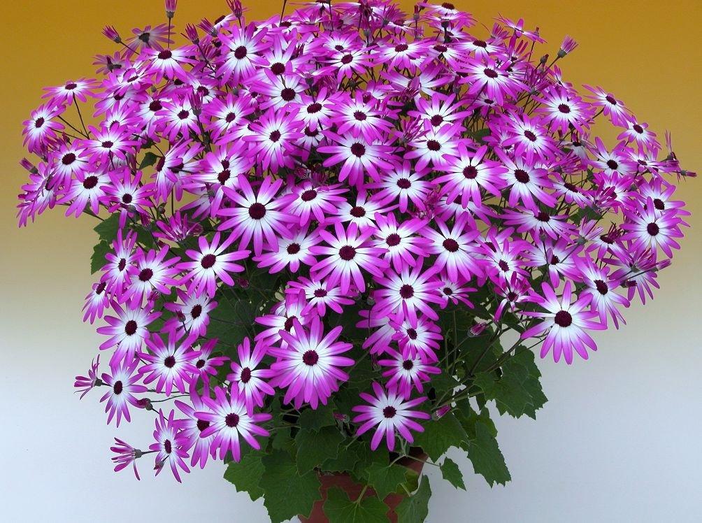 Комнатные цветы цинерария выращивание и уход фото 64