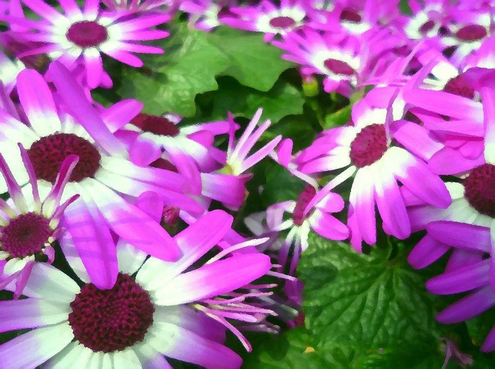 Комнатные цветы цинерария выращивание и уход фото 58