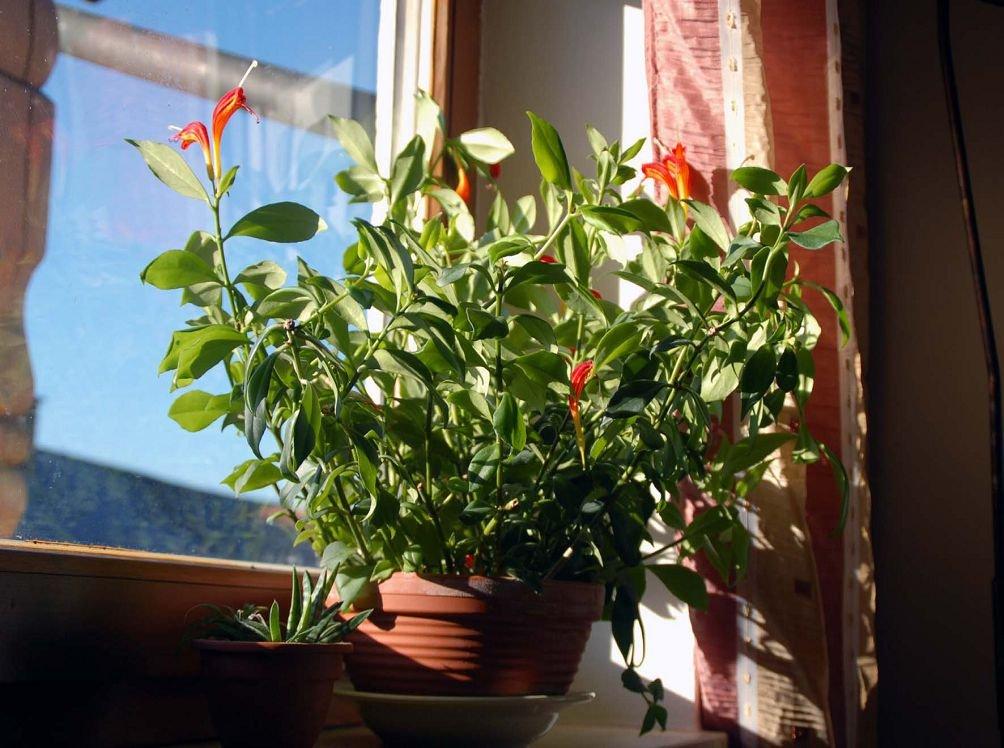 Комнатные цветы эсхинантус фото выращивание уход размножение 122