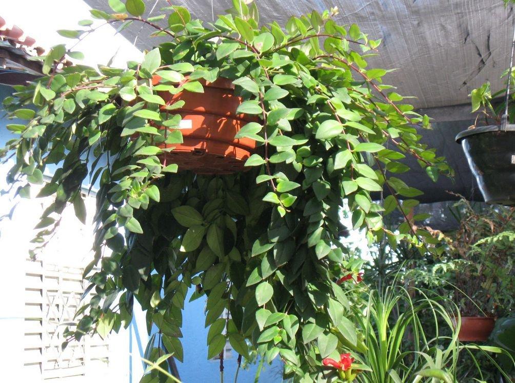 Комнатные цветы эсхинантус фото выращивание уход размножение 320