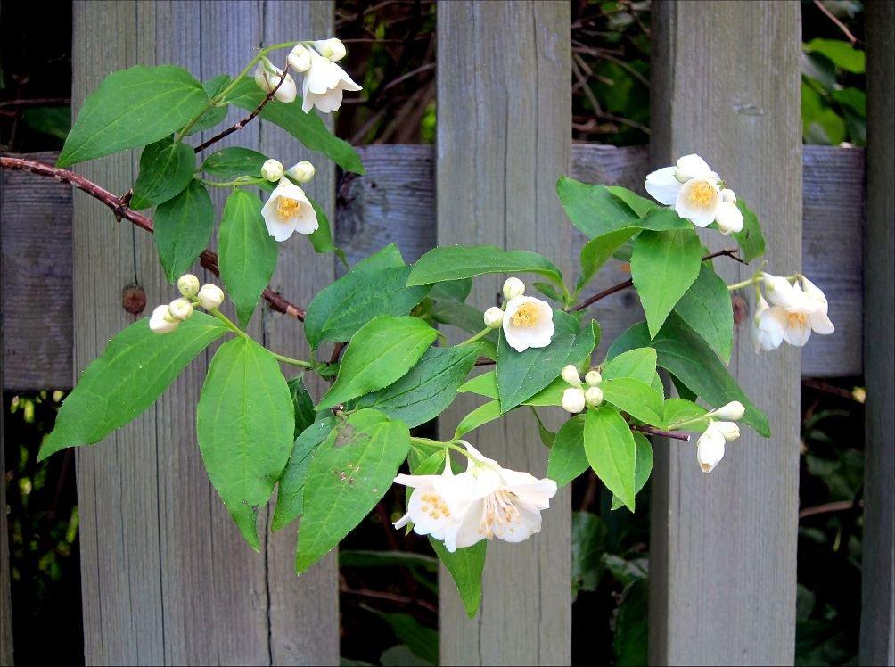 Чубушник: фото и виды, посадка и уход за растением