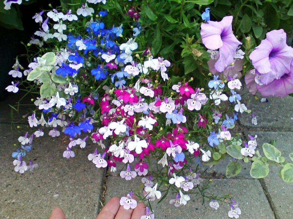 Лобелия фото цветов рассада 66