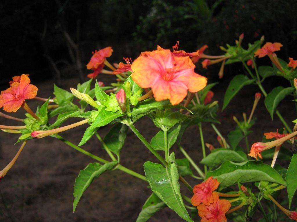 Мірабіліс фото квітів