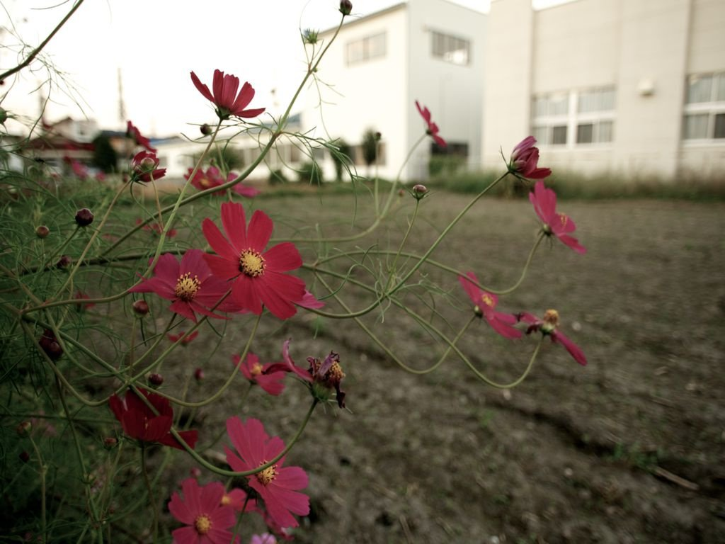 Выращивание космеи в открытом грунте 39