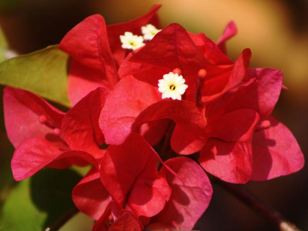Выращивание и уход за бугенвиллией в домашних условиях