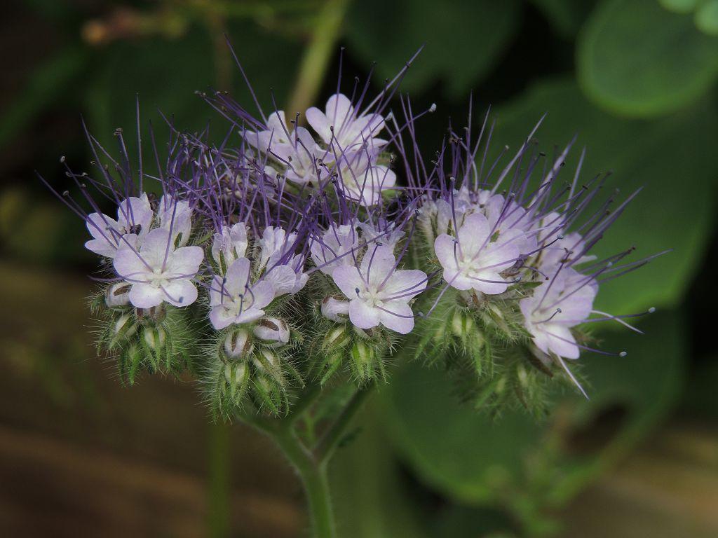 Цветок фацелия