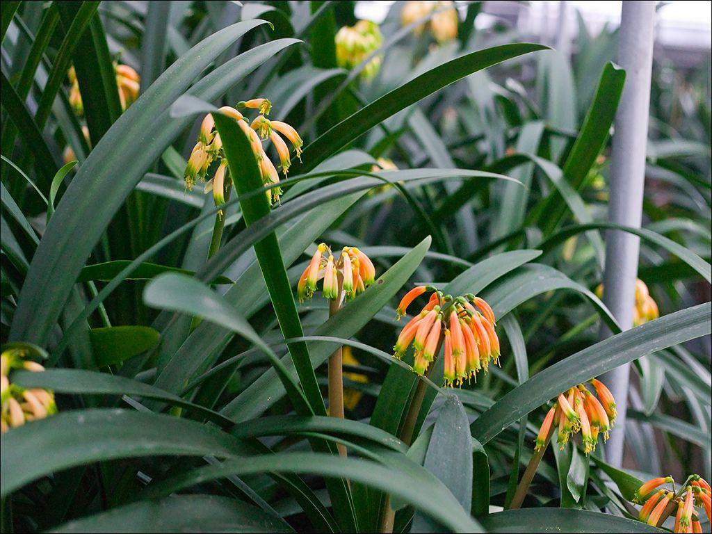 Выращивание кливии в домашних условиях 812
