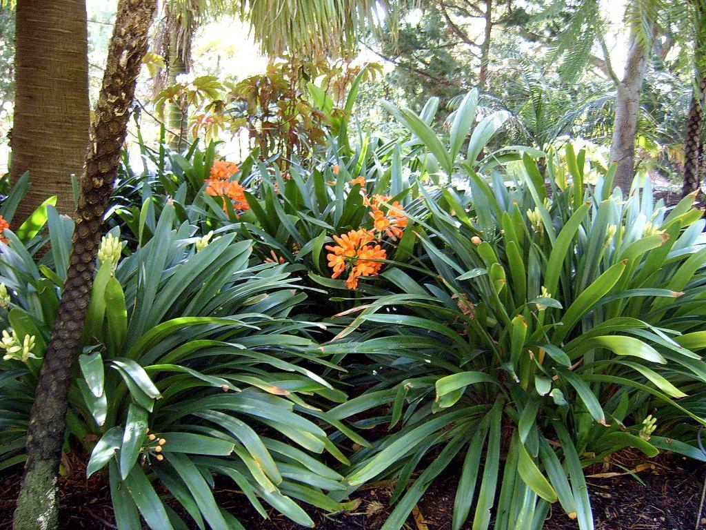 Выращивание кливии в домашних условиях 494