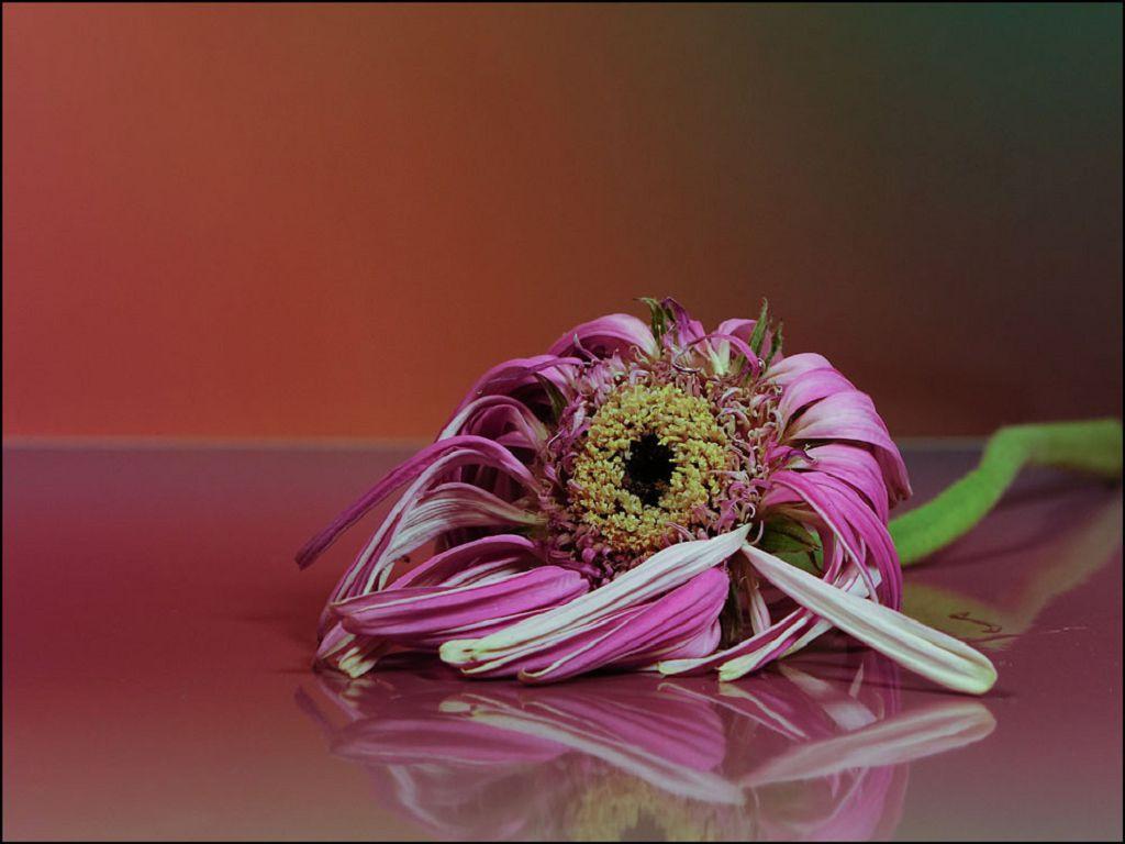 Уход за герберой - Садовые цветы и растения. Florets