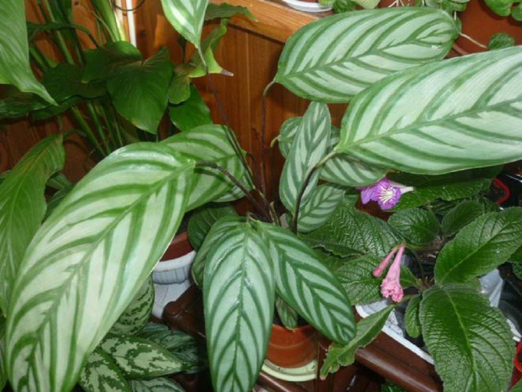 Капризное растение Калатея: виды, описание сортов и фото