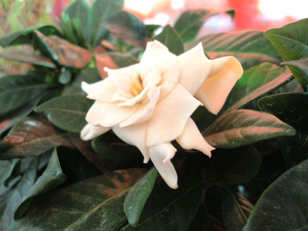 Капризное растение: почему у гардении чернеют, желтеют и опадают листья