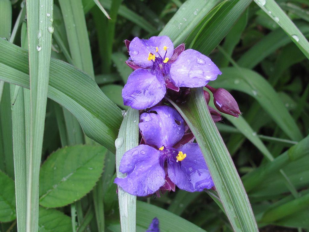 Традесканция садовая уход и посадка с фото, полезные свойства