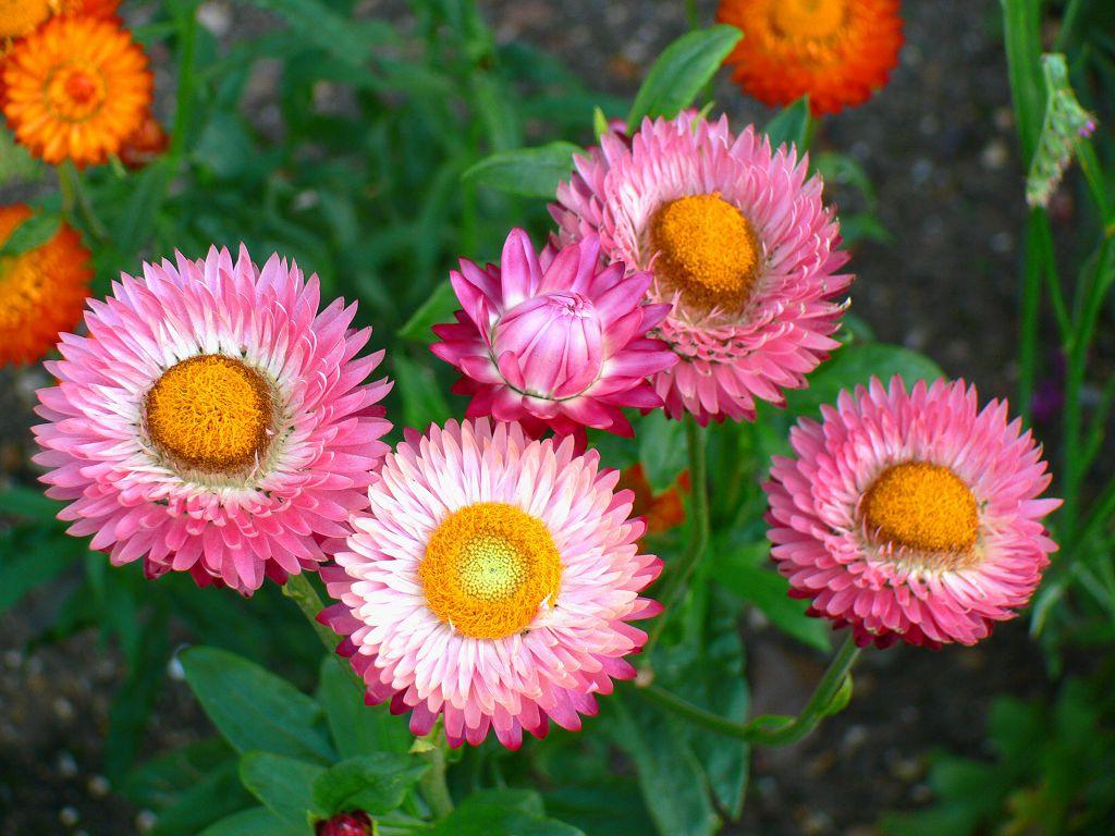Название цветка бессмертника