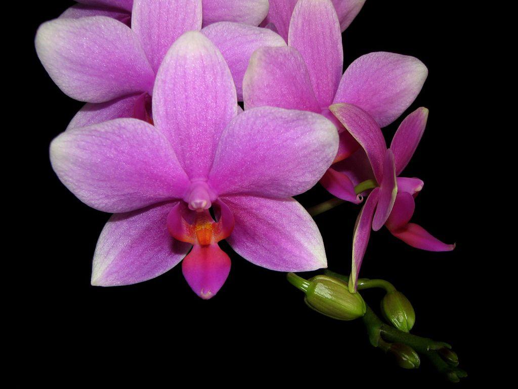 Орхидея фаленопсис - виды и сорта, фото цветоноса и уход после цветения, удобрения и грунт, цена семян и где купить в Москве и СПб