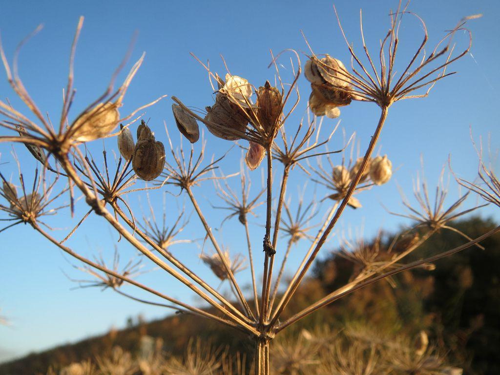 Растение борщевик фото и описание