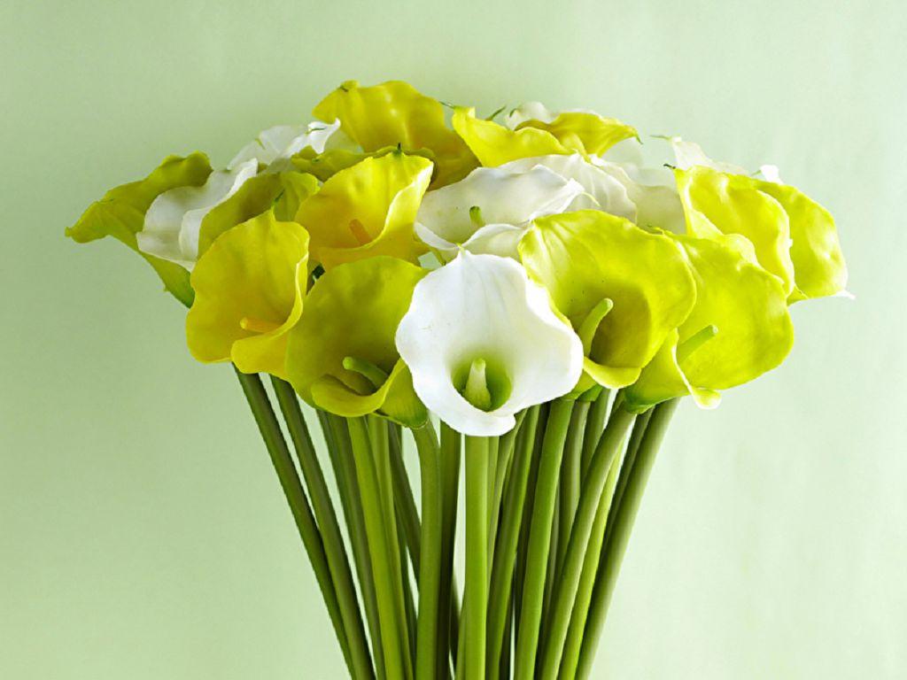 Цветок Калла (Зантедеския) - фото и уход в домашних условиях