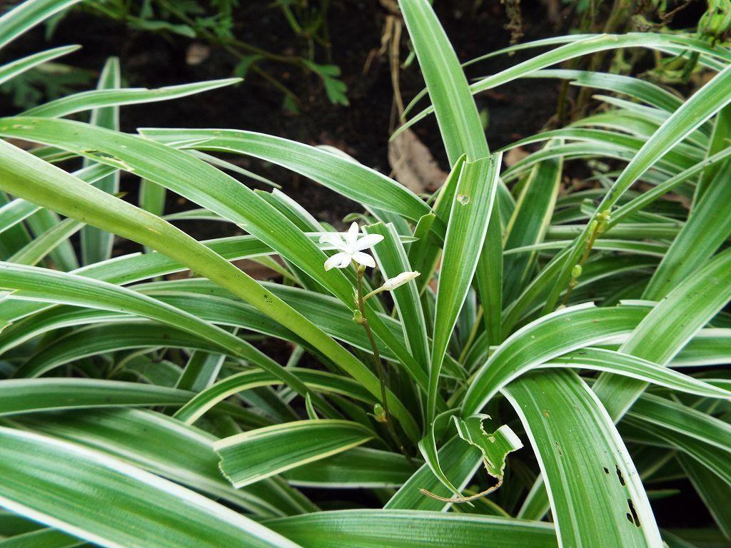 Название цветка с круглыми листьями фото